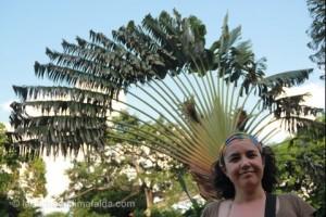 albero del viaggiatore guadalupa